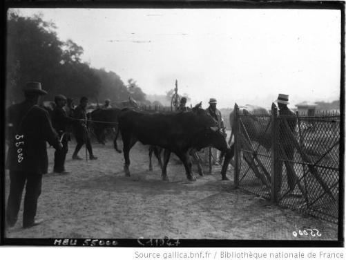 Les bestiaux au Bois de Boulogne en 1914 : il faut nourrir Paris, coûte que coûte